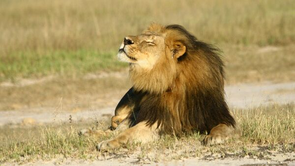 Cecil the lion is seen at Hwange National Parks in this undated handout picture received July 31, 2015 - Sputnik International