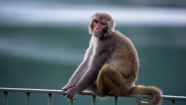 A macaque monkey sits on a fence in a country park in Hong Kong. - Sputnik International