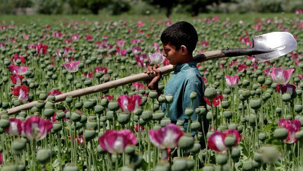 An Afghan boy walks through a poppy field in Khogyani district of Jalalabad east of Kabul, Afghanistan - Sputnik International