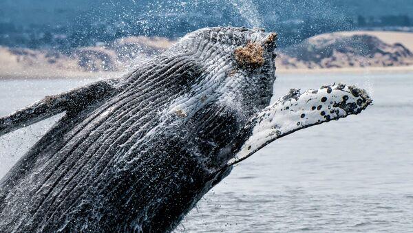 Humpback Whale near Monterey Bay Area in Northern California. - Sputnik International