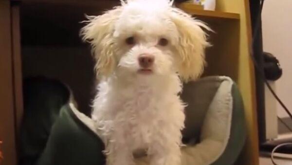 Dog Attacks After Getting Caught Tearing Up Toilet - Sputnik International