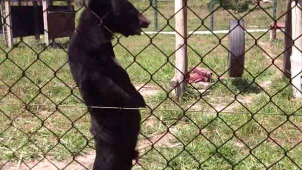 Bear Walks on Two Legs Like a Human - Sputnik International