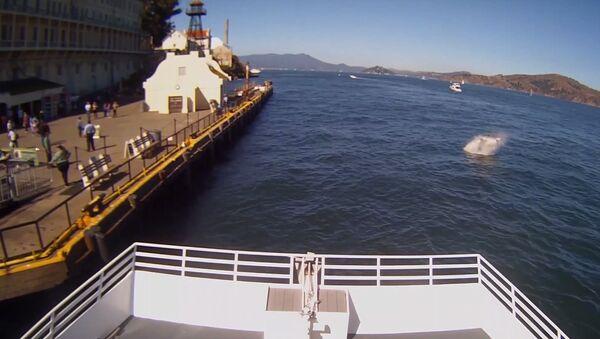 Alcatraz Cruises Great White SharkVideo 10/10/15 Uncut - Sputnik International
