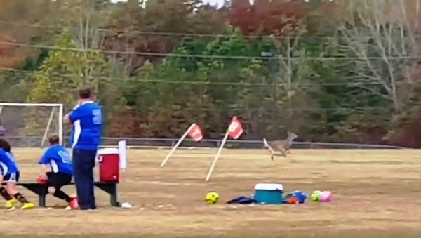 And of course deer love playing some soccer too! - Sputnik International
