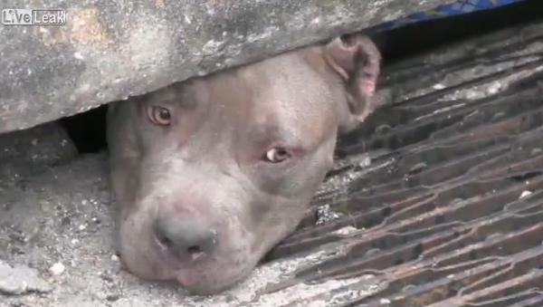 [Video] Police Officer finds and rescues 3 pit bulls huddled in storm drain - Sputnik International