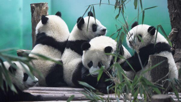 The image shows Pandas in Chengdu Research Base of Giant Panda Breeding, China - Sputnik International