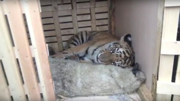 he tiger cub was rescued from a group of poachers and animal smugglers in Russia's Far East - Sputnik International