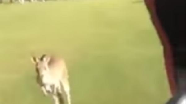 Huge Angry Kangaroo Chases Australian Golfers Off Course - Sputnik International