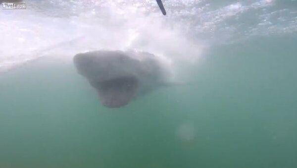 Close encounter with a great white shark - Sputnik International