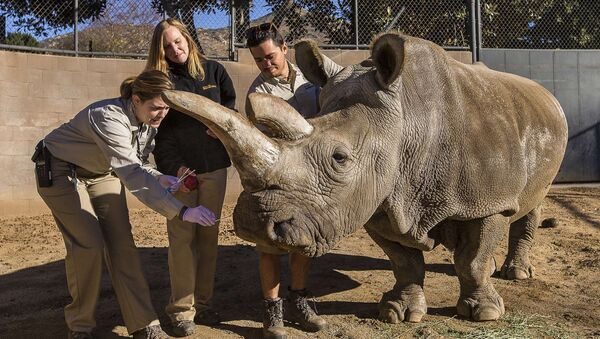 A northern white rhino named Nola receives a veterinary exam from associate veterinarian Meredith Clancy (L) as keepers Kim Millspaugh and Mike Veale (R) assist at the San Diego Zoo Safari Park in California in this December 29, 2014 file photo - Sputnik International