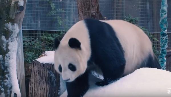 Panda Snow Day - Sputnik International