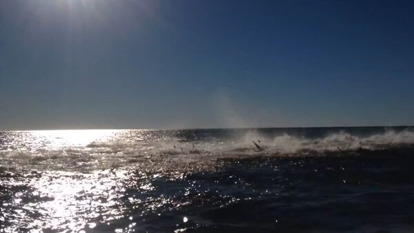Shark Feeding Frenzy Off Florida Coast - Sputnik International