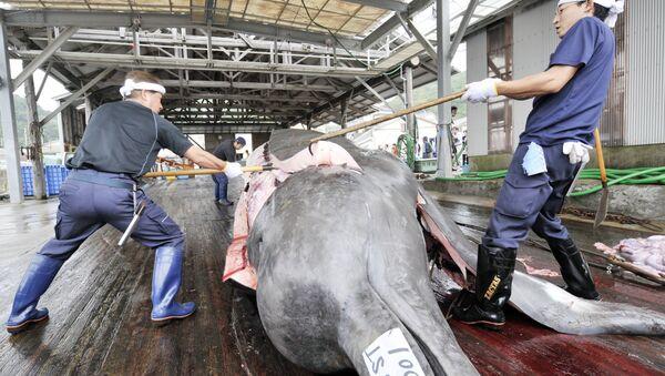Fishermen slaughter a 10m-long bottlenose whale at the Wada port in Minami-Boso city, Chiba prefecture, east of Tokyo - Sputnik International