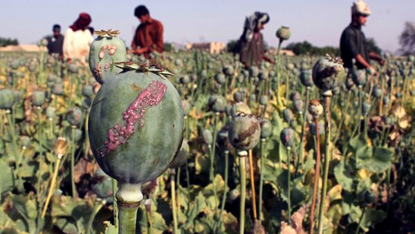 In this photograph taken on April 27, 2015, Afghan farmers harvest opium sap from a poppy field in Panjwai District of Kandahar province - Sputnik International