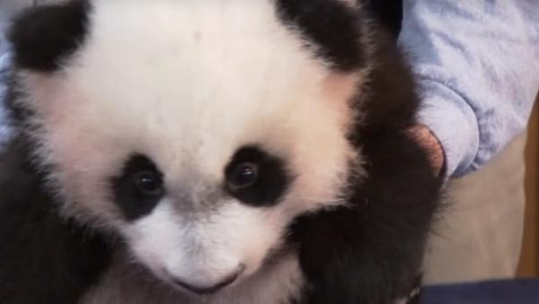 DC Panda Makes His Media Debut - Sputnik International