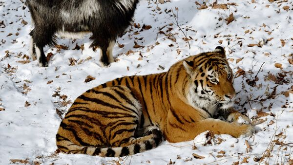 Amur, a Siberian tiger, and a goat called Timur are seen here in an enclosure at the Primorye Safari Park - Sputnik International