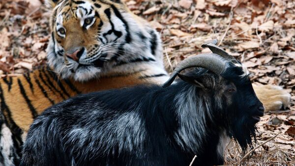Siberian tiger named Amur and goat Timur in an enclosure at Safari Park in the Primorye Territory. Although tigers feed on live prey in the park all year round, tiger Amur did not eat goat Timur - Sputnik International