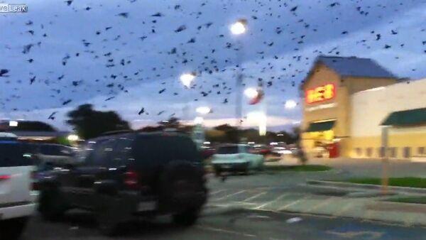 Flocks of birds invade parking lot - Sputnik International