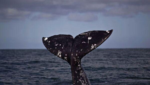 The tail of a gray whale - Sputnik International