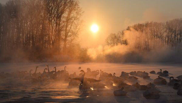 Swans on unfrozen Lake Svetloe in the state nature reserve Lebediny, Altai Territory - Sputnik International