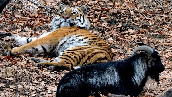 Friendship between goat Timur and tiger Amur at Safari Park in Primorye Territory - Sputnik International
