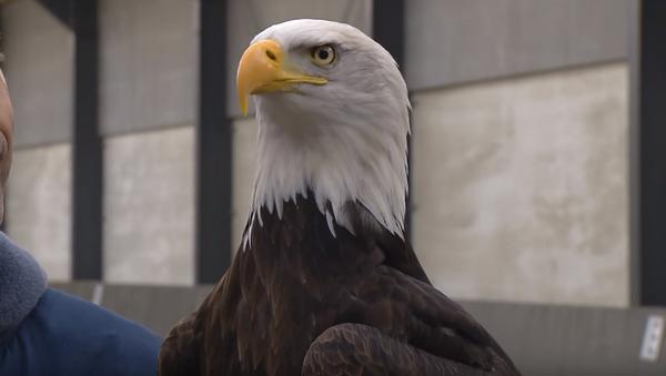 Dutch police may use eagles to stop errant UAVs. - Sputnik International