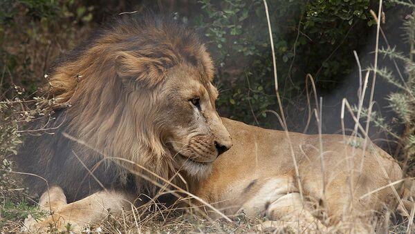 An Abyssinian lion - Sputnik International