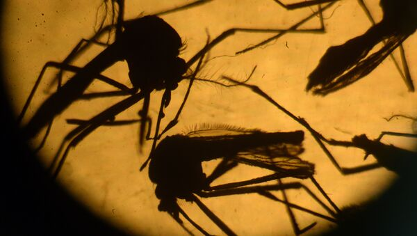 Aedes aegypti mosquitos are photographed in a laboratory at the University of El Salvador, in San Salvador - Sputnik International