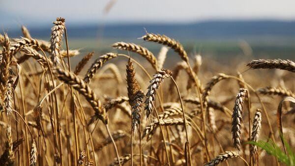 Grain harvesting in Simferopol District, Crimea - Sputnik International