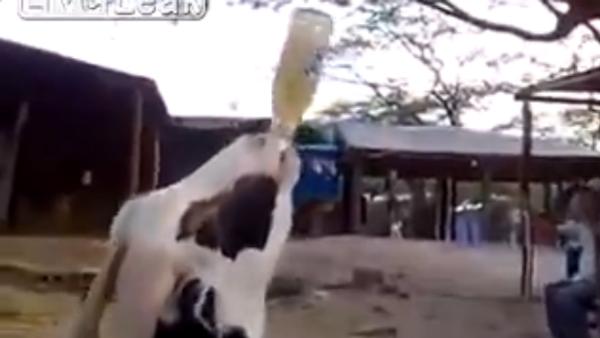 Goat drinking beer! - Sputnik International