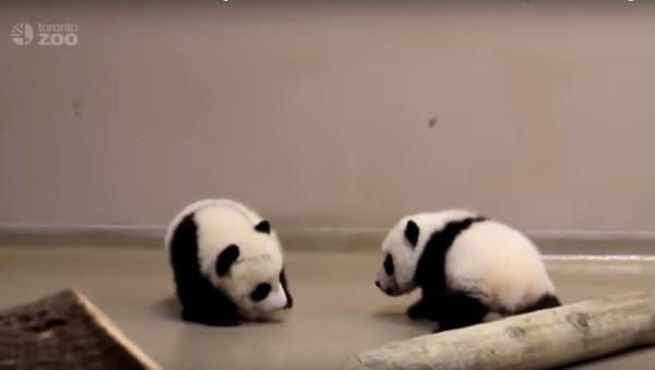 Tiny panda cubs make their first steps - Sputnik International