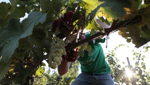 A farmer picks grapes for harvest in the Villa Germaine vineyards of Ariccia, on the outskirts of Rome - Sputnik International