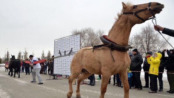 The Chelyabinsk strongman Elbrus Nigmatullin performing a unique stunt of restraining two horses - Sputnik International