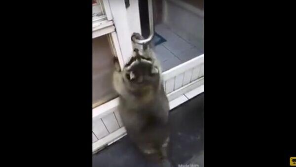 Plump Raccoon Tries to Open a Door - Sputnik International