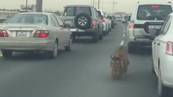 Tiger at Doha Qatar Road - Sputnik International