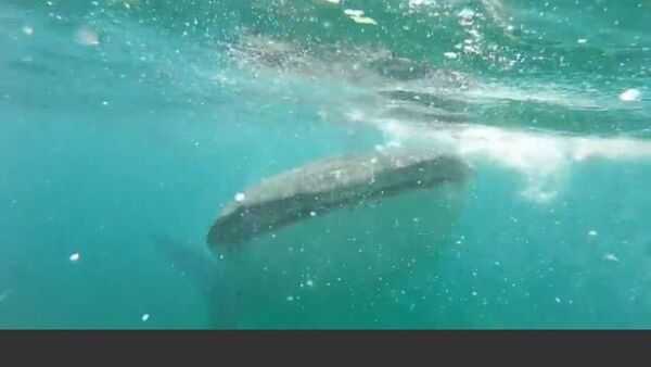 Girl Encounters Whale Shark - Sputnik International