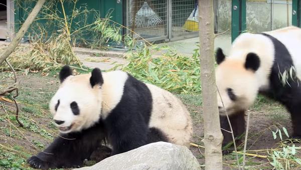 Pandas at the Schonbrunn Zoo in Vienna - Sputnik International