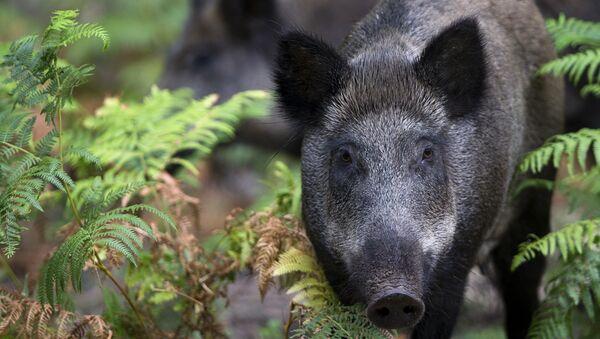 Wild boars - Sputnik International