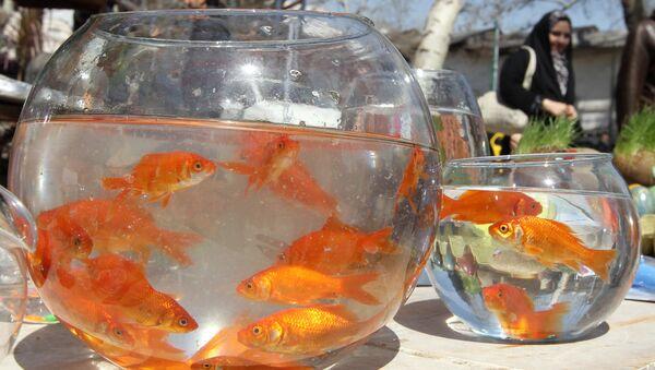 Goldfish swim in bowls at a market in Tehran on March 19, 2012 - Sputnik International