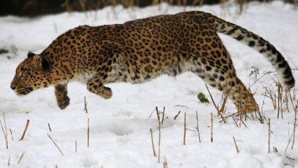 A female leopard moves inside a snow covered enclosure at Dachigam Wildlife Sanctuary, outskirts of Srinagar, India. (File) - Sputnik International