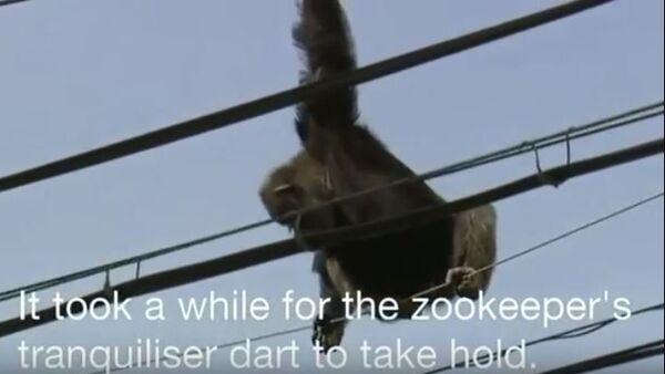 Escaped chimp rescued from power line in Japan - Sputnik International