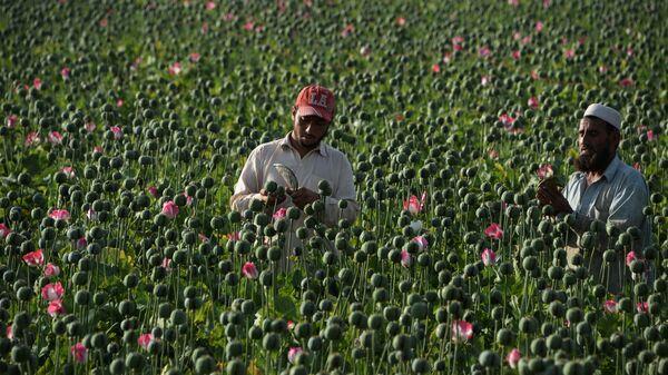 Сбор мака в Афганистане  - Sputnik International