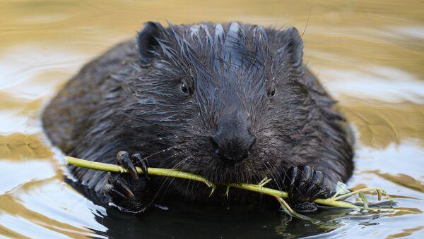 Beaver - Sputnik International