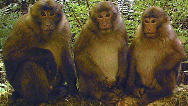White-cheeked macaques (Macaca leucogenys) - Sputnik International