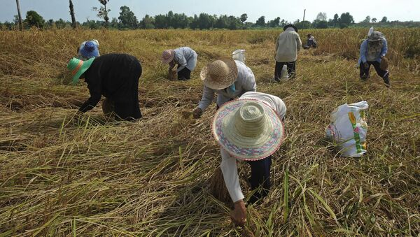 Thai farmers harvest rice at a field in the Takbai district of Thailand's restive southern province of Narathiwat on March 17, 2016 - Sputnik International