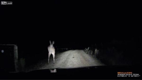 Kangaroo Attacks Car - Sputnik International