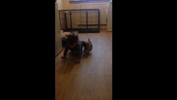 Pug Puppy chase! - Sputnik International