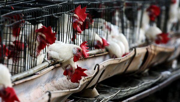 Chickens - Sputnik International