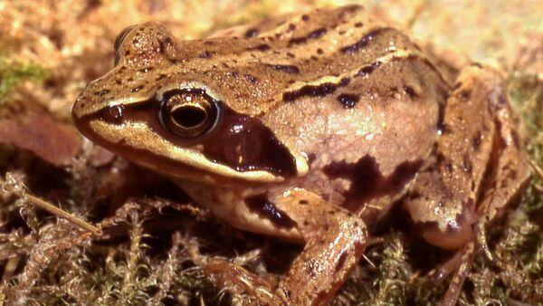 Moor frog - Sputnik International