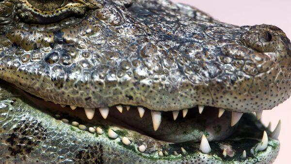 Alligator - Sputnik International